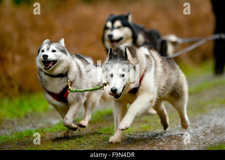 three alaskan malamutes pulling a rig in a race - Stock Image