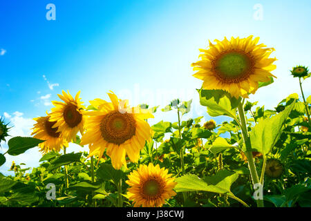 Sunflowers on background of blue sky - Stock Image