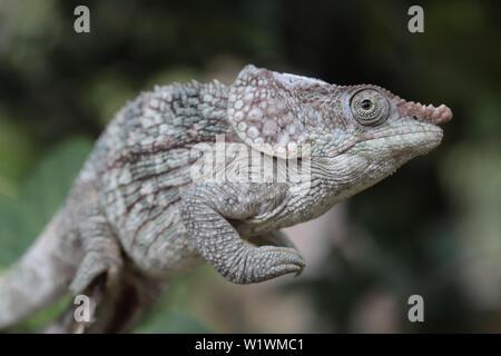 Short-horned Chameleon Calumma brevicornis Madagascar - Stock Image