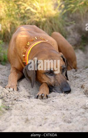 Rhodesian Ridgeback lying in the sand - Stock Image