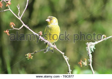 Greenfinch (Carduelis chloris) on a bare branch with an out of focus background - Stock Image