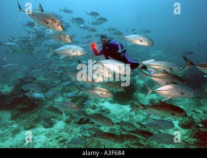 underwater, Schooling Jacks in Sipadan - Stock Image