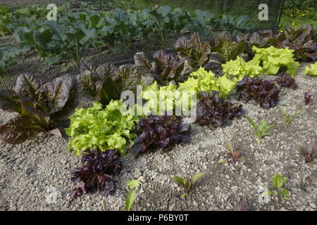 Green and red lettuces with young beetroot and protected brassicas, Wales,  UK. - Stock Image