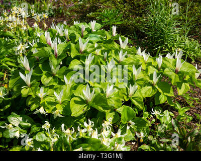 White flowered form of the giant trillium, Trillium chloropetalum, in it;s ephemeral spring display - Stock Image
