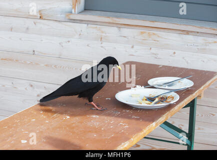 Alpine Chough or Yellow-Billed Chough, (Pyrrhocorax graculus), scavenging food scraps in a Zugspitze ski resort, Bavaria, German Alps - Stock Image