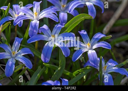 Flowering squill (Scilla), Bavaria, Germany - Stock Image