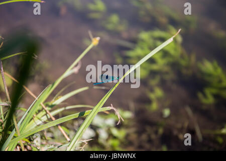Natural environment of dragonfly (Anisoptera) near lake in the grass - Stock Image