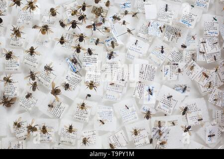 A display of pinned, preserved bee samples,  at the Wildflower Festival at Mount Pisgah Arboretum in Eugene, Oregon, USA. - Stock Image