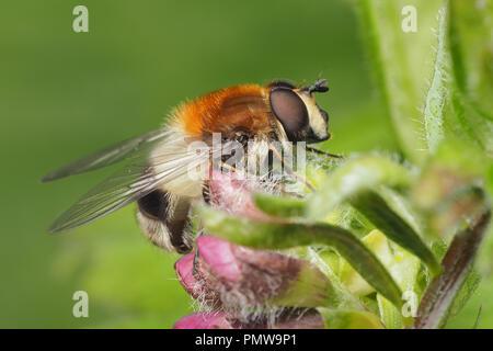 Leucozona lucorum hoverfly perched on plant. Tipperary, Ireland - Stock Image