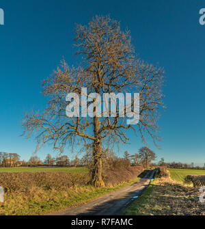 A single bare Sycamore Acer Pseudoplatanus tree in a hedgerow in bright winter sunshine against a clear blue sky background - Stock Image