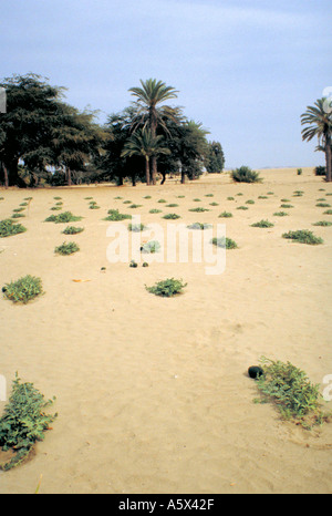 Pumpkin Plants Growing in the Peruvian Desert - Stock Image