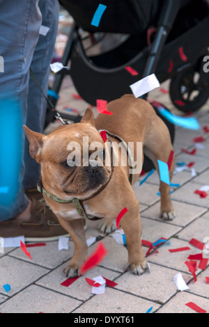 Small French Bull Dog covered in confetti watches crowds nervously at  2014 Mercedes-Benz Corporate Run in Miami, Florida, USA. - Stock Image