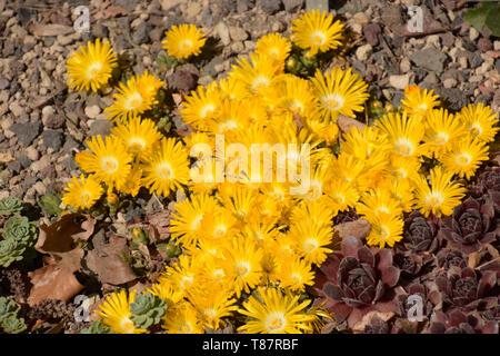 golden nugget delosperma and other succulents in rockery, carpet of bright yellow delosperma congestum in spring - Stock Image
