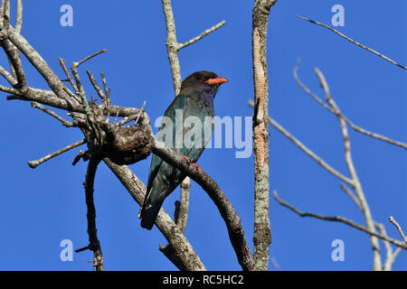 An Australian, Queensland Dollarbird ( Eurystomus orientalis ) perched on a tree branch resting - Stock Image