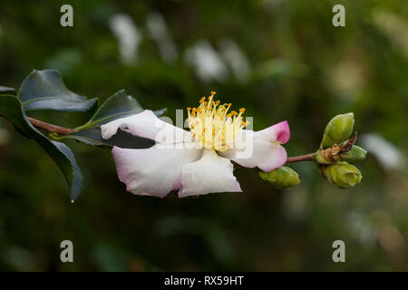 Lapanese Weissdolde, Botanical garden, Additional-Rights-Clearance-Info-Not-Available - Stock Image