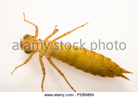 Southern hawker or blue hawker dragonfly larvae, Aeshna cyanea, at Alpenzoo in Innsbruck, Austria. - Stock Image