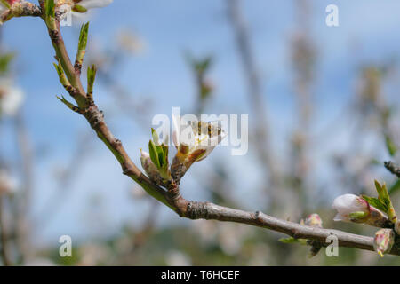 Bee and almond tree white pink blossom detail - Stock Image