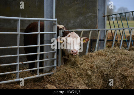 Hereford bull in barn eating hay near the north Oxfordshire village of Hook Norton - Stock Image