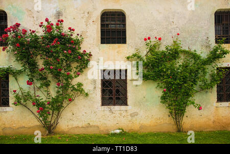 Red roses growing against an historic building in north east Italy - Stock Image