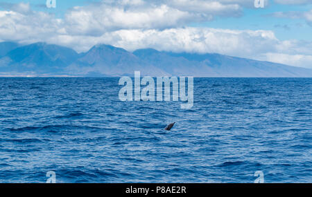 Wild Hawaiian Spinner dolphins, Stenella longirostris, swim freely off the coast of Lana'i. West Maui Mountains in the distance. - Stock Image