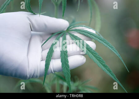 Hand holdign green cannabis leaves in a garden - Stock Image