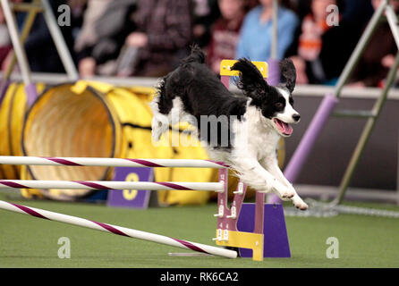New York, USA. 09th Feb, 2019. Westminster Dog Show - Bodee, an English Springer Spaniel, competing in the preliminaries of the Westminster Kennel Club's Master's Agility Championship. Credit: Adam Stoltman/Alamy Live News - Stock Image
