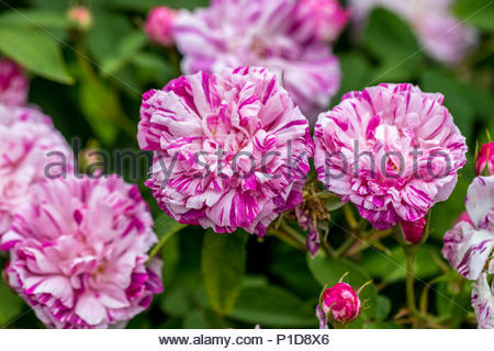 Hybridized by Vibert in 1845, Gallica rose 'Perle des Panachees' has a white blossom streaked with mauve, purple, and red. - Stock Image