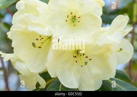 Rhododendron 'Rosa Stevenson' flowers close-up Himalayan Garden and Sculpture Park North Yorkshire England UK Europe May - Stock Image