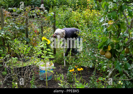 Senior woman gardening digging and weeding around soft fruit bushes in a vegetable and flower garden in autumn with pears in pear tree UK KATHY DEWITT - Stock Image