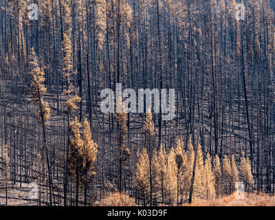 Landscape of burned trees after forest fire. Yellowstone National Park, Wyoming, USA. - Stock Image