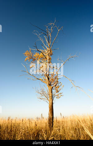 Single barren tree with few leaves set in a large outdoor scene with blue autumn skies. Vertical scenic composition - Stock Image