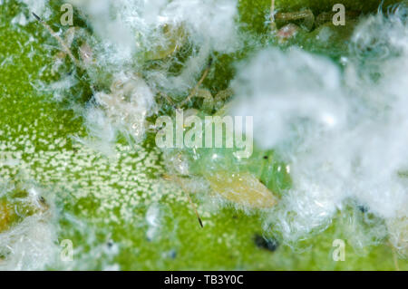 Photomicrograph of box sucker or boxwood psyllid, Psylla buxi, nymphs with white waxy extrusion on young box leaves  in spring, May - Stock Image