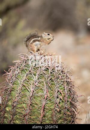 USA, Arizona, Buckeye. Harris's antelope squirrel on barrel cactus. Credit as: Wendy Kaveney / Jaynes Gallery - Stock Image