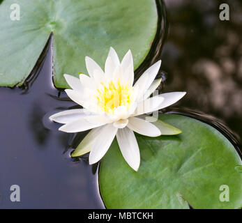 An up close view of a white lotus flower blooming and lily pad floating in a botanical water garden - Stock Image