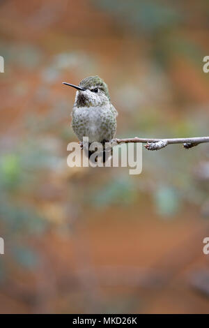 Selected focus accentuates sitting hummingbird portrait done against unfocused red and green background - Stock Image