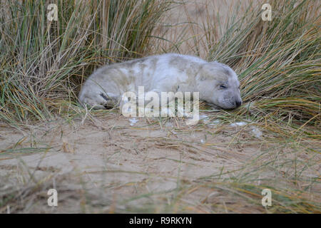Horsey Beach, Norfolk, UK. 26th Dec, 2018. A very young grey seal pup sleeping on Horsey Beach, Norfolk UK on Boxing Day 2018. Every winter, grey seals come to Horsey to give birth to their young. They are born with white fur, which then falls off after they have been weaned. Credit: Steve Nichols/Alamy Live News - Stock Image