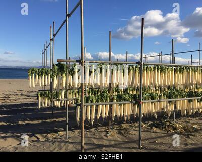 Daikon or Japanese radish line the shore of Miura coast in winter. They are being dried to make hoshi daikon (dried radish) or kiriboshi daikon (dried radish strips). - Stock Image