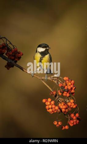 Great tit, feeding on rowan berries late winter - Stock Image
