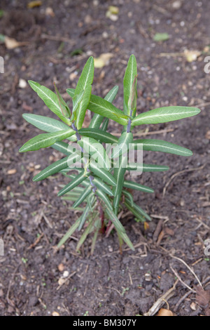 Euphorbia lathyris (Caper Spurge or Paper Spurge) is a species of spurge - Stock Image