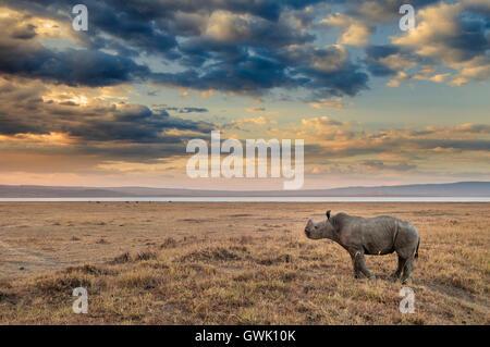 Baby Rhinoceros on the shores of Lake Nakuru, Kenya. Africa. - Stock Image