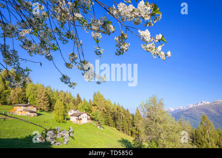 Floweing cherry tree at Pian di Gembro, Aprica, Orobie Alps, Valtellina, Lombardy, Italy, Europe - Stock Image
