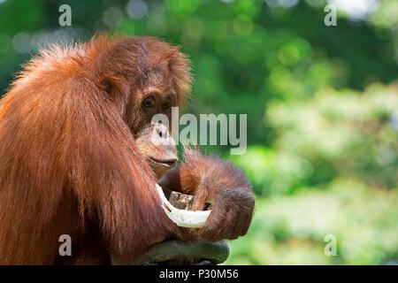 Wild Borneo Orangutan - Stock Image