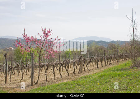 Landscape With Vineyards In Istria - Stock Image