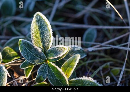 Detail of frosted plant. - Stock Image