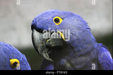 Pair of South American Hyacinth Macaws (Anodorhynchus hyacinthinus). in closeup. - Stock Image