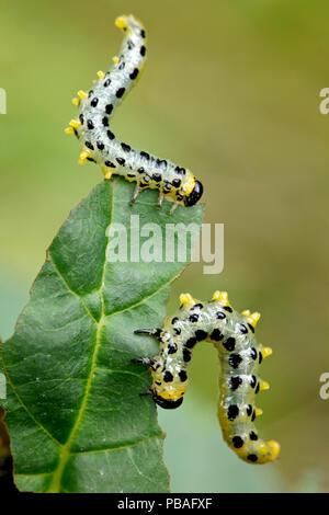 Dusky birch sawfly (Croesus septentrionalis) eating Alder leaves (Alnus glutinosa), Loire river, France, September. - Stock Image