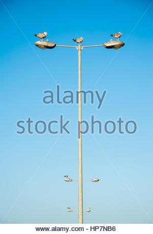 Three seagulls standing on a tall dual lampost, facing the same way (East) In Southport, Merseyside, England, UK, - Stock Image