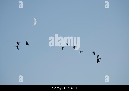 Flock of pink-footed geese (Anser brachyrhynchus) in flight at dusk, with crescent moon. Norfolk. November. - Stock Image