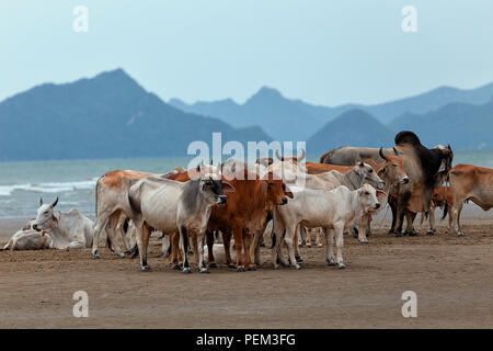 Cows on a beach in southern Thailand - Stock Image