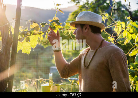 Side view of handsome young man in hat toching vine leaves in garden in sunlight - Stock Image